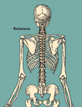 rotators muscles