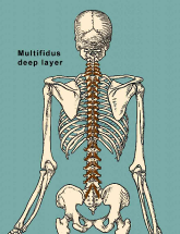 multifidus deep layer